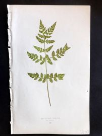 Lowe 1869 Antique Fern Print. Cystopteris Fracilis Furcans